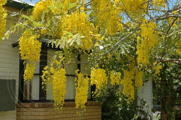 BLACK DIAMOND IMAGES * | Cassia fistula - Golden Shower Tree | Cassia  fistula - Golden Shower Tree