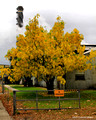 Cassia fistula at Harwood Island Sugar Mill, Clarence River Valley