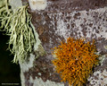 Teloschistes flavicans - Golden Hair Lichen ? - and Usnea sp.