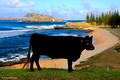 Black Aberdeen Angus Cow Taking in the View at Cemetary Beach, Norfolk Island