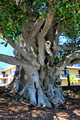 Massive Ficus obliqua - Small-leaved Fig -  Ehlefeldt Reserve, Little St, Forster, NSW