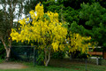 Cassia fistula - Golden Shower Tree