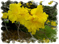 Tabebuia chrysantha - Golden Trumpet Tree