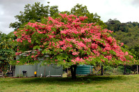 Cassia javanica var. indochinensis (Cassia javanica) -Pink Shower Tree,Pink Lady,Pink Apple Blossom Tree