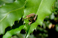 Frog on a Macadamia Tree