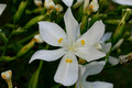 Dietes Robinsoniana (Wedding Lilly)