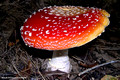 Amanita muscaria - Fly Agaric, Te Anau, New Zealand