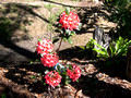 Tropical Rhododendron