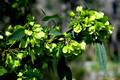 Dodonaea triquetra-Lime Green Hop Bush