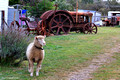 Sheep and Old Tractor, Taralga, Southern Tablelands, NSW