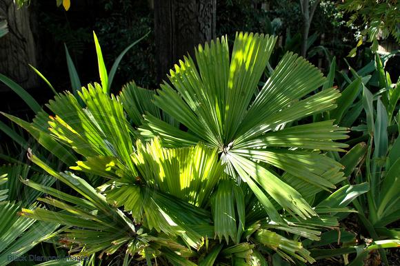 Black Diamond Images Palms And Cycads Licuala
