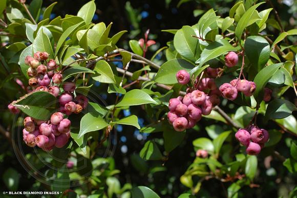 BLACK DIAMOND IMAGES * | ZEN-Australian Rainforest Fruits ...