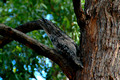 Tawney Frogmouth Owl (5)ed